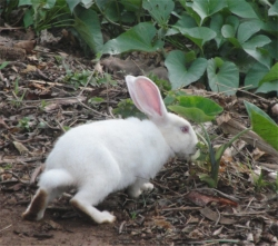 Moringa leaf meal (MOLM) can be used to improve daily weight gain in rabbits