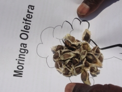 A small selection of seeds were handed out to enable the teachers to establish mature Moringa trees to build up seed stock to supply the churches and eventually the schools in the region.