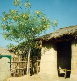 Africa Community Moringa Project: