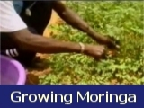 Growing Moringa in Africa