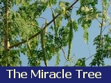 Moringa the miracle tree