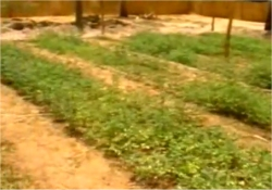Moringa trees can also be planted very close together as a field crop, at a spacing as close as ten to fifteen centimeters.