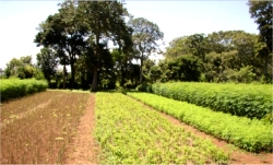 Using this technique of intensive cultivation, plots of Moringa are planted on a rotation schedule, so that there is an ongoing supply of green matter.