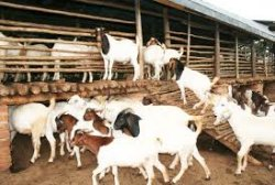 Donate a goat to Africa Training Bible School hekp empower African pastors from Tanzania Malawi Zambia DR Congo and Uganda
